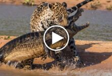 Encounter between Cheetah and Crocodile