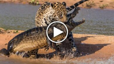Encounter between Cheetah and Crocodile